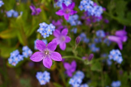 紫罗兰色, 风铃草, 紫色, 蓝色, 花, 开花, 绽放
