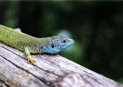 西部绿蜥蜴, 蜥蜴, 两栖类动物, 光明, 彩色, 多彩, 欧洲