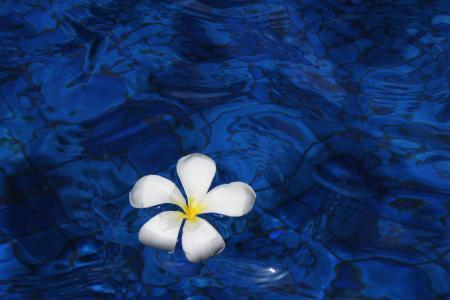 花, 水, 春天, 植物, 鸡蛋花, 花, 巴厘岛