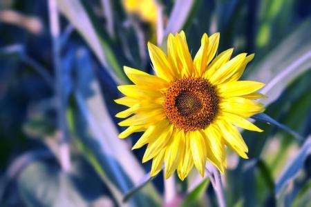向日葵, 花, 黄色, 自然, 太阳, 花香, 植物