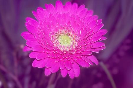 非洲菊, schnittblume, 粉色, 花, 开花, 绽放, 强烈的色彩