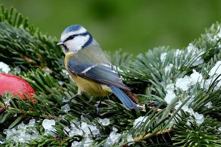 山雀, 蓝雀, 蓝山 caeruleus, 鸟, 冬天, 花园, 觅食