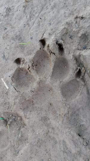 爪子, 转载, 痕迹, 狗, 动物足迹, 自然