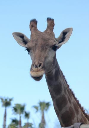 长颈鹿, 颈部, 动物, 动物, 自然, 头, 动物群