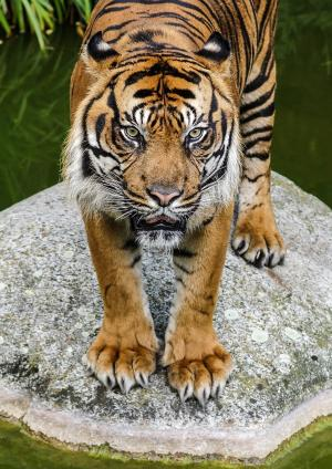 老虎, 视图, 猫, 手表, 捕食者, 关闭, 动物园