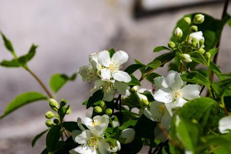 花, filadelfo, 春天, 灌木, 我的天使, 圣母茉莉, 宝石