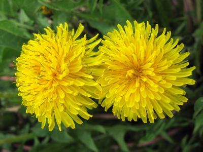 蒲公英, 黄色, 自然, 花, 两个蒲公英