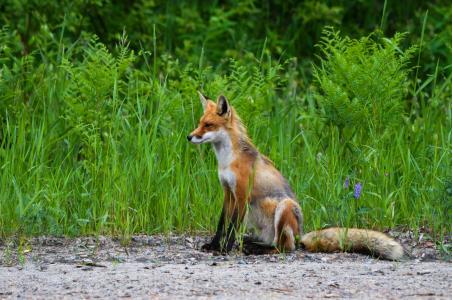 狐狸, 野生, 自然, 动物, 野生动物, 毛皮, 生物