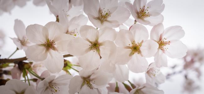 樱花, 春天, 木材, 自然, 花树, 春天的花朵, 白色