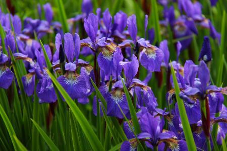虹膜, 花, 花香, 开花, 紫色, 自然, 绽放