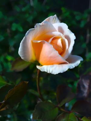 上升, 玫瑰绽放, 花, 粉红色橙色