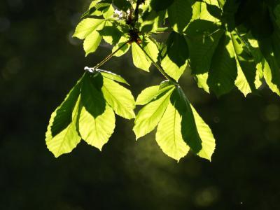 栗叶, 叶子, 板栗, 树, 板栗树