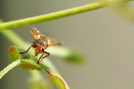 飞, 蚊子, 自然, 昆虫, 动物, 宏观, 关闭