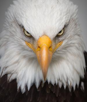 鹰, 肖像, 野生, 鸟, 自然, 捕食者, 特写