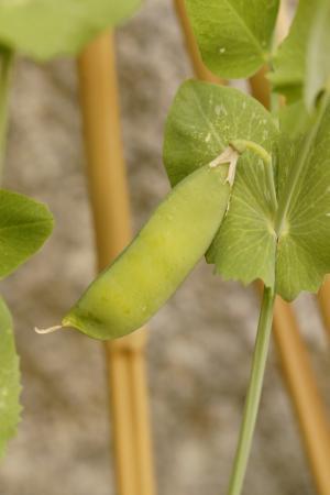 豌豆豆荚, 豌豆, 豌豆植物, 成长, 蔬菜, 绿色, 健康