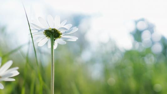 绽放, 开花, 洋甘菊, 特写, 植物区系, 花, 高清壁纸