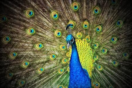 孔雀, 动物, 彩虹