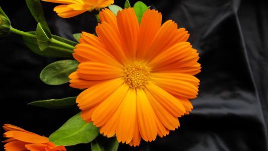 万寿菊, 金盏菊, 花, 美丽, 橙色, 开花, 新鲜