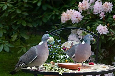 鸽子, 斑鸠, 鸟, 鸽 palumbus, 夫妇, 觅食, 花园