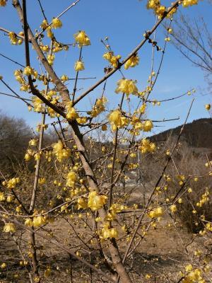 梅花, 知更鸟, 花, 木材, 黄色, 自然, 树