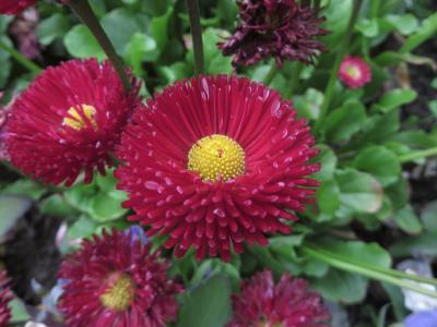 花, 自然, 植物, 红色