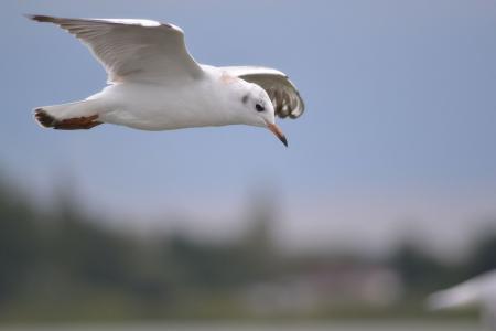 海鸥, 水, 泽福格尔, 飞, 湖, 海, 动物