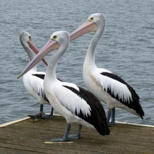 鹈鹕, 澳洲鹈鹕, 鹈鹕, 国鸟 conspicillatus, 澳大利亚, 自然, 鸟