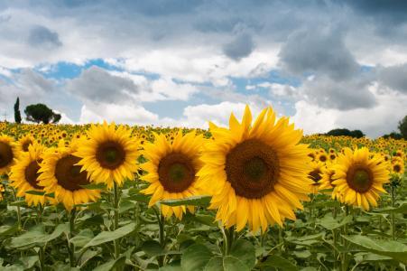 向日葵, 夏季, 太阳, 绽放, 赛季, 花香, 户外