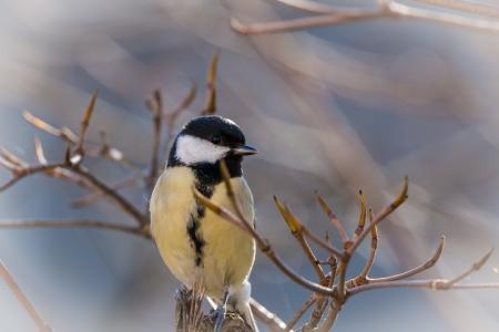 山雀, 鸣禽, 鸟, 小的鸟, 花园, 坐, 自然