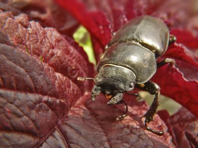 甲虫, 昆虫, 黑色, 宏观, 线, 线圈