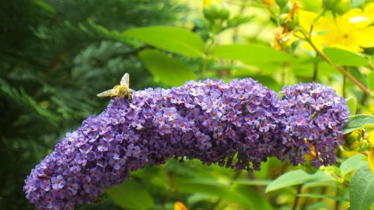 夏季紫丁香, 蜜蜂, 昆虫, 花粉, 关闭, 紫色, 开花
