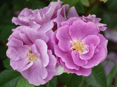 玫瑰, 荆棘, 多刺, 绽放, 爱, 嫁给, 婚姻