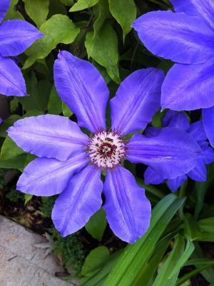 紫色的小花, 铁线莲, 花园, 紫色, 植物, 花, 自然