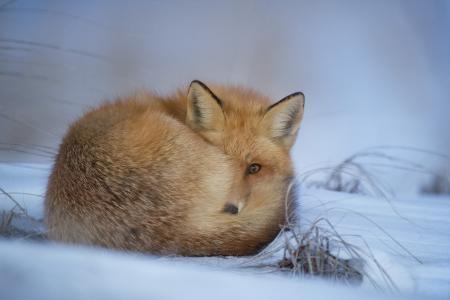 动物, 模糊, 犬, 感冒, 可爱, 夏时制, 狐狸