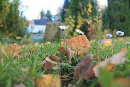 黛西, 秋天, 叶子, 草甸, 花, 自然, 关闭