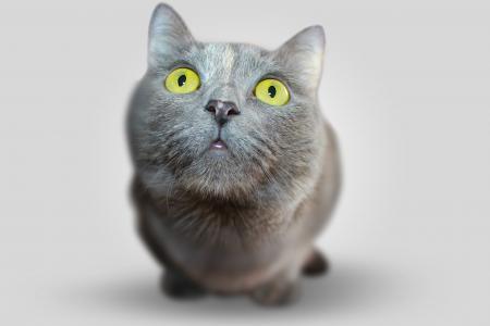 猫, 动物, 眼睛, 灰色, 视图, 视图, 宠物