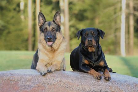 狗, 狗, 罗威纳犬, 德国牧羊犬