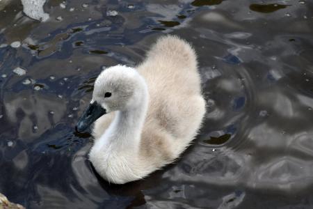 疣鼻天鹅, 静音天鹅印章, 天鹅, 戒, 鸟, 湖, 自然