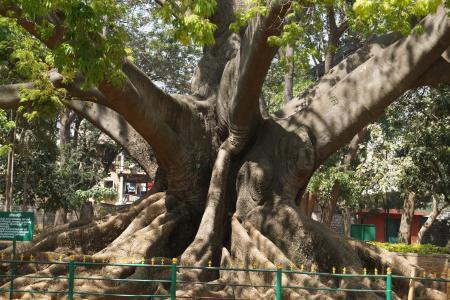 树, 200岁, 班加罗尔, 花园