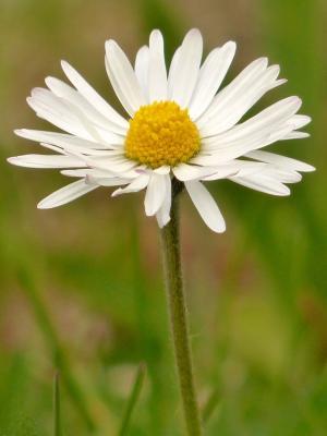 黛西, 开花, 绽放, 关闭, 白色, 野生花卉, 白花