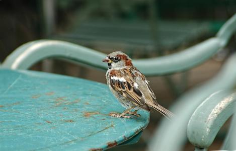 麻雀, 鸟, 动物, 花园, 熟悉