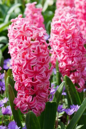 风信子, 植物区系, 粉色, 绿色, 花香, 花, 花