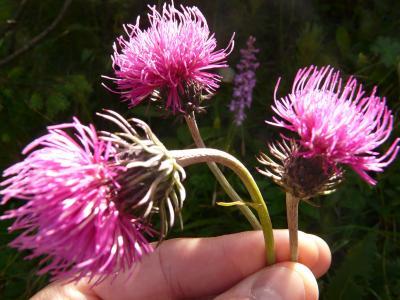 水飞蓟, 花, 花束, 野生花卉, 植物, 夏季