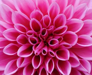 大丽花, 大丽花, 秋天, 菊科, 花卉园, 观赏花卉, 大丽花花园