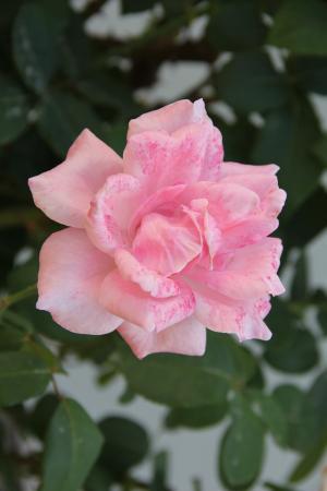 粉红色的玫瑰, 公园, 花园, 植物区系, 自然, 工厂, 花瓣