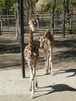 长颈鹿, 动物, 发现, 动物园