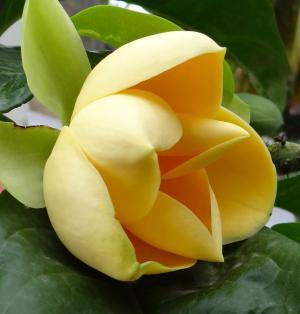 蛋玉兰, 玉兰 liliifera, 花, 热带, 绽放, 绽放, 植物学