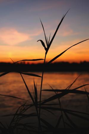 余辉, 日落, 芦苇, 池塘, 冬天, 好天气, 晴朗天空