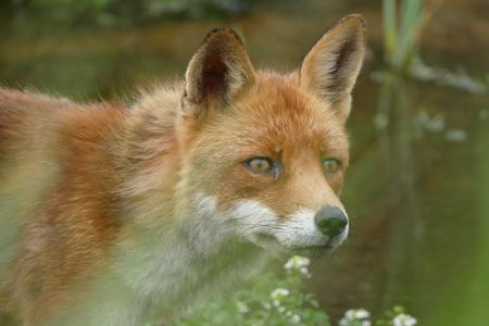 自然, 狐狸, 关闭, 野生, 野生动物, 自然摄影, 一种动物