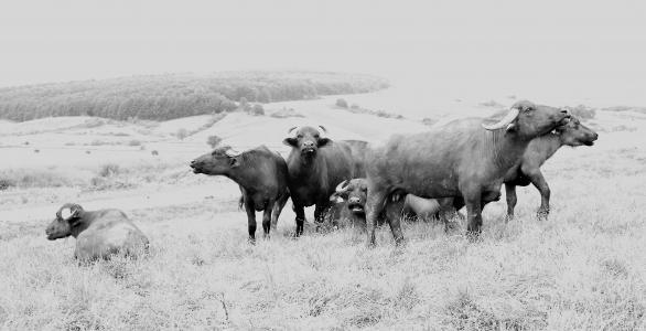 牧场, 黑色和白色, 宠物坐, 水牛城, 动物群, 电源, 原始